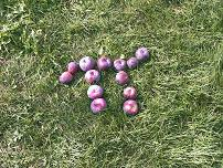 Apples on the ground forming the Greek letter Pi, Hollis, NH